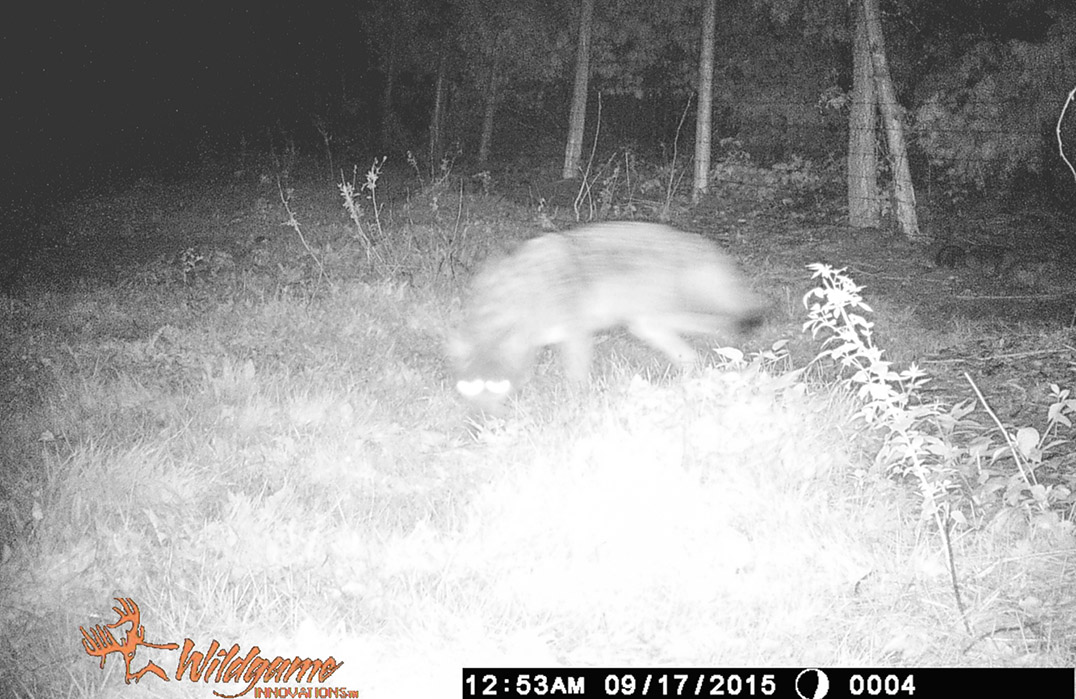 The predator as captured on trail cam.