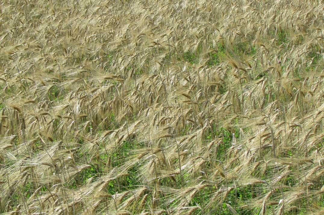 Paul Skippen's healthy crop of barley before birds.