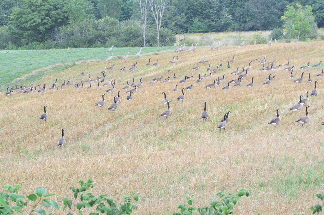 Geese-and-sandhills-in-the-fields