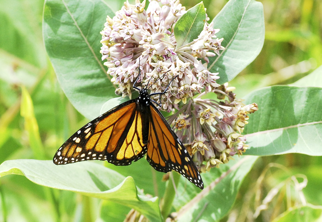 A male monarch observed at  Providence Bay on August 3 taking  nectar from a flower of milkweed with its straw-like proboscis. The faded and  tattered condition of its wings indicate that it had just flown across Lake Huron and would be looking for a female to mate once it had refueled.