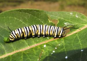 Monarchs 2