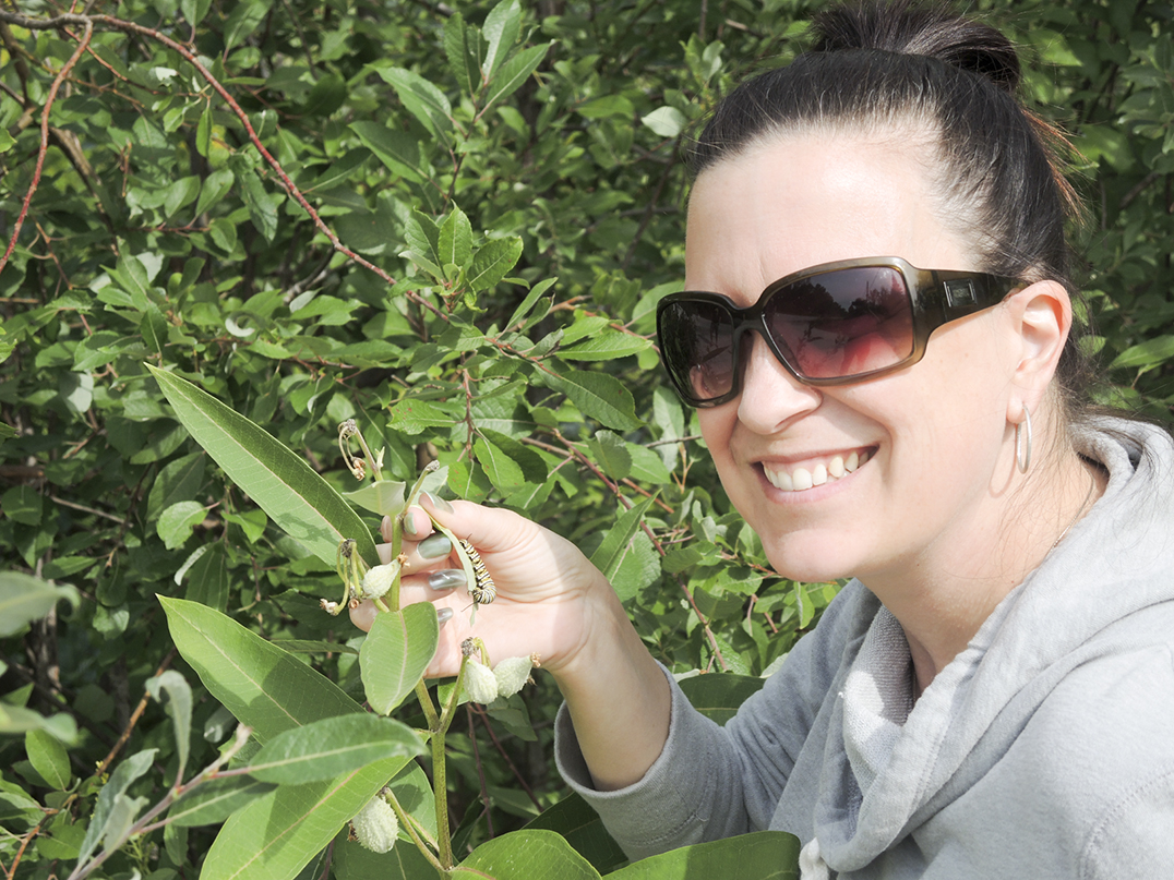 Manitoulin elementary school teacher Melissa Volpini examining monarch caterpillars on a patch of milkweed at her home on Bay Estates Road. Ms. Volpini is an avid fan of monarchs and takes delight in exposing her students to all aspects of monarch  biology.  photos by Dr. Joe Shorthouse