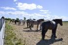 Twang fair- horse show