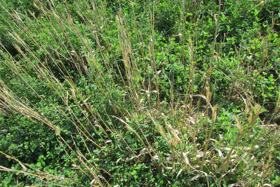 Paul Skippen's not-so-healthy crop of barley after birds.